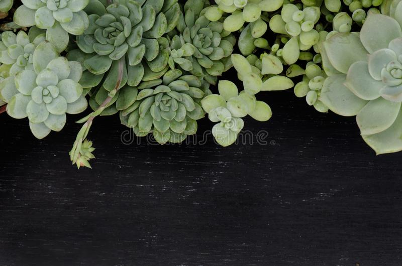 Mix of Green Echeveria Succulent Plant Top Border Frame Black Board Background 免版税图库摄影