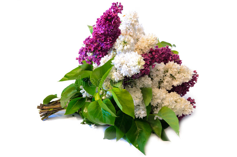 Mix of purple and white common lilac (syringa) bouquet isolated. On white background royalty free stock photography