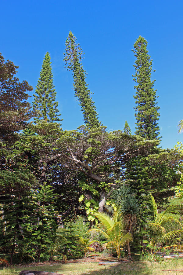 Mix of trees in Isle of Pines, New Caledonia, South Pacific. Variety of vegetation in Isle of Pines in New Caledonia, South Pacific stock image