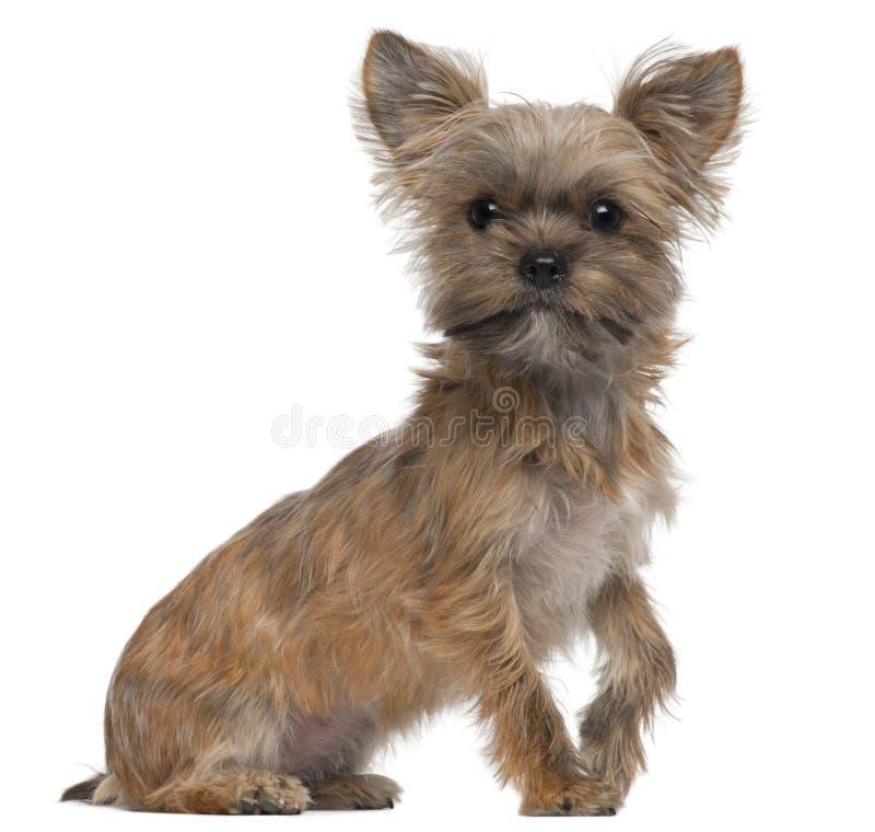 Mixed-allevi il cane, 7 mesi, sedentesi fotografia stock libera da diritti