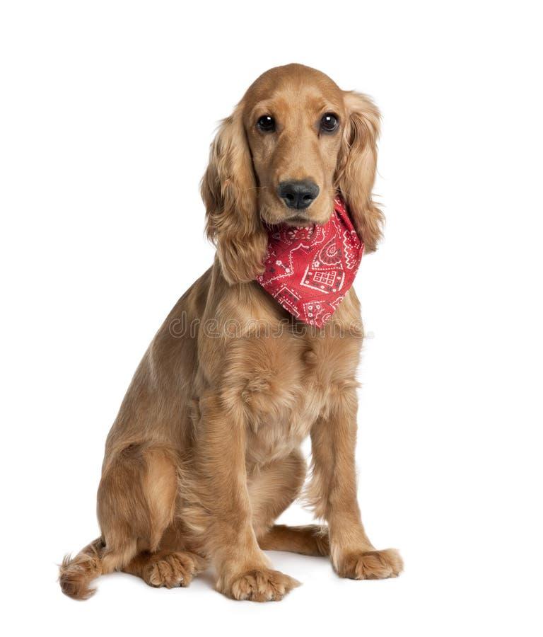 Mixed-Allevi il cane con un cocker fotografie stock libere da diritti
