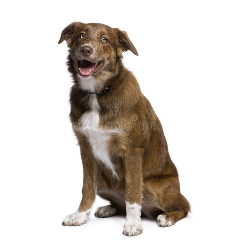 Mixed-allevi il cane davanti a priorità bassa bianca fotografia stock