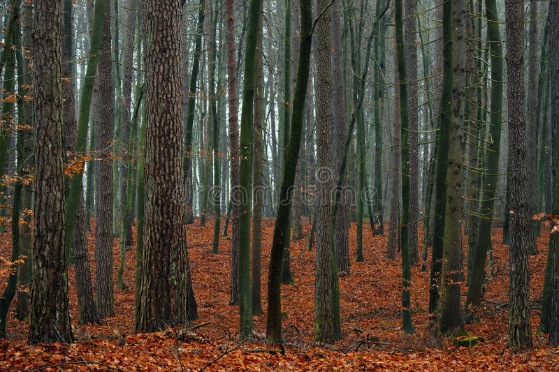 Mixed autumn forest. Mixed autumn forest after the rain - fallen red leaves royalty free stock photos