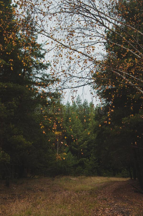 Mixed autumn forest. Fascinates with its pristine beauty and depth. There are both birch and fir trees and pines in it, all of them are covered with an autumn royalty free stock image