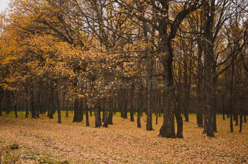 Mixed autumn forest. Fascinates with its pristine beauty and depth. There are both birch and fir trees and pines in it, all of them are covered with an autumn stock image