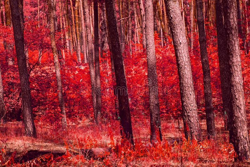 Mixed autumn forest looks fantastic all is painted in red color royalty free stock photos