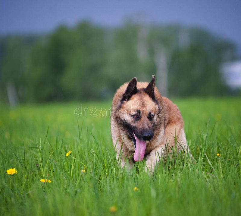 Mixed belgian shepherd dog. In the field stock photography