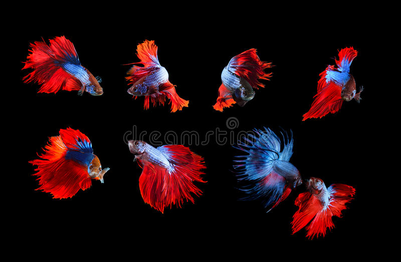 mixed of blue and red siamese fighting fish betta full body under water isolated black background stock photos