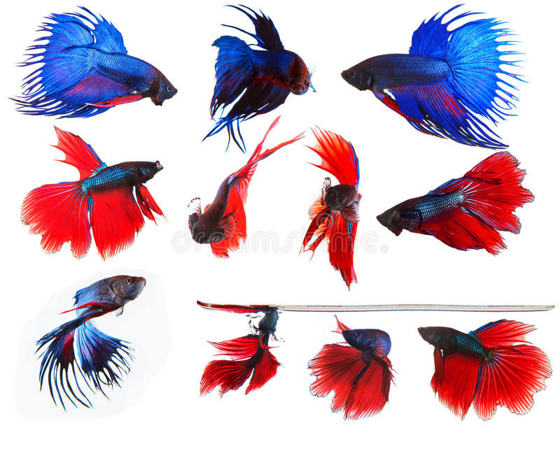 mixed of blue and red siamese fighting fish betta full body under water isolated white background royalty free stock photo