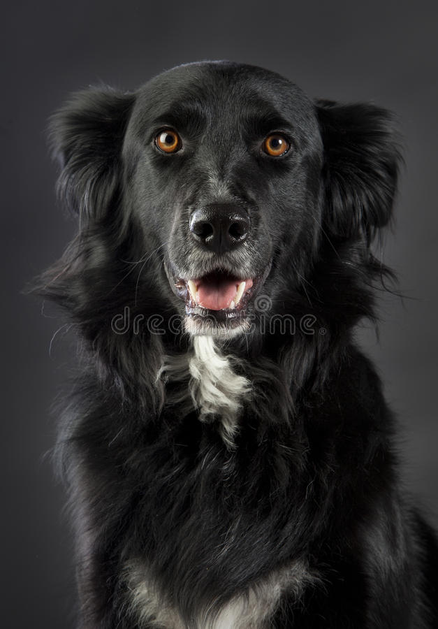Mixed Border Collie. 3/4 head looking straight ahead in studio royalty free stock photos