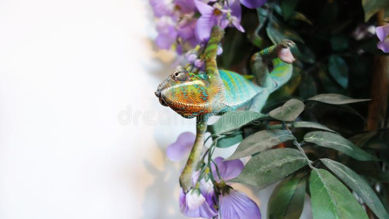 Furcifer Pardalis - Panther Chameleon Ambilobe. Mixed breed bitch of belgian malinois and border collie, chilling on the garden royalty free stock photos