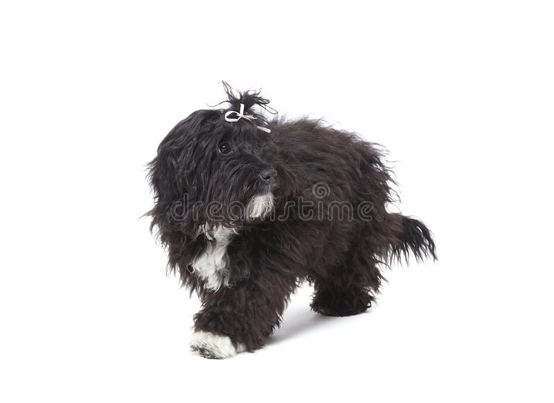 Download Black puppy stock image. Image of fluffy, breed, black - 29806565