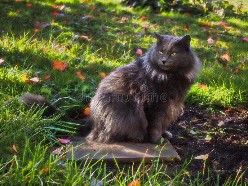 Mixed breed cat royalty free stock image