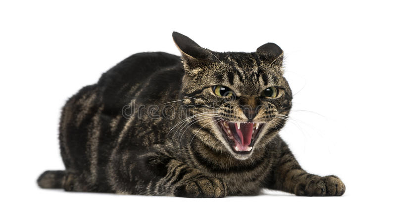 Mixed-breed cat hissing. Isolated on white stock photography