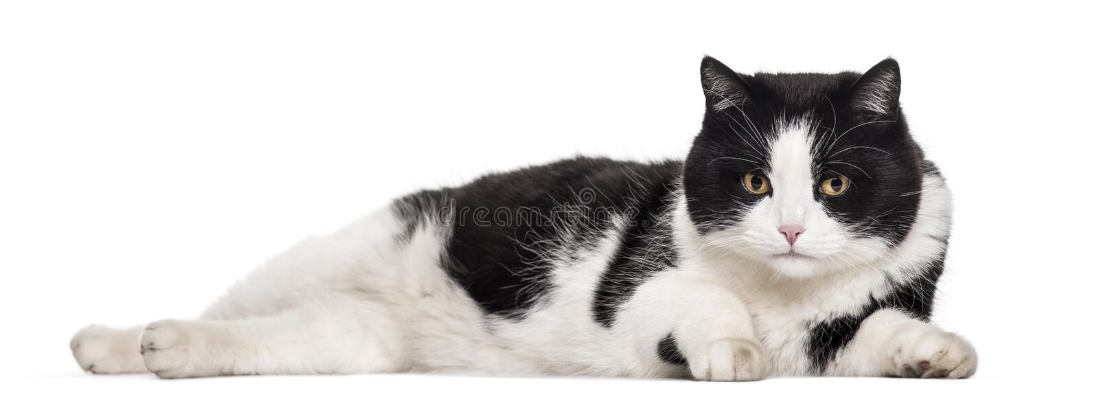 Mixed-breed cat lying against white background royalty free stock photo