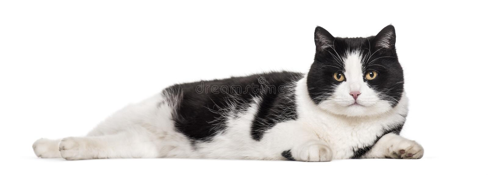 Mixed-breed cat lying against white background royalty free stock photos