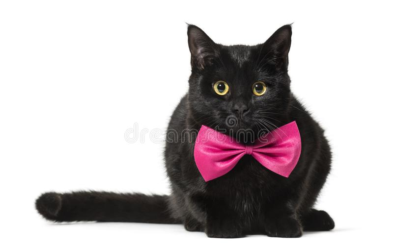 Mixed-breed cat in pink bow tie against white background royalty free stock image