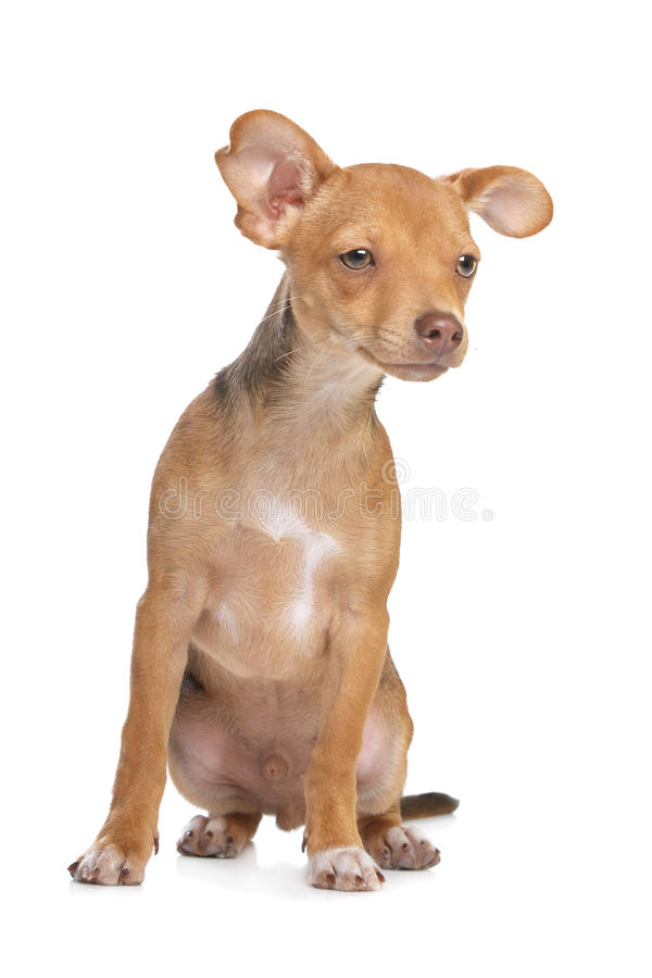Download Mixed Breed Chihuahua And Miniature Pincher Dog Stock Photo - Image of pedigreed, purebred: 22881308