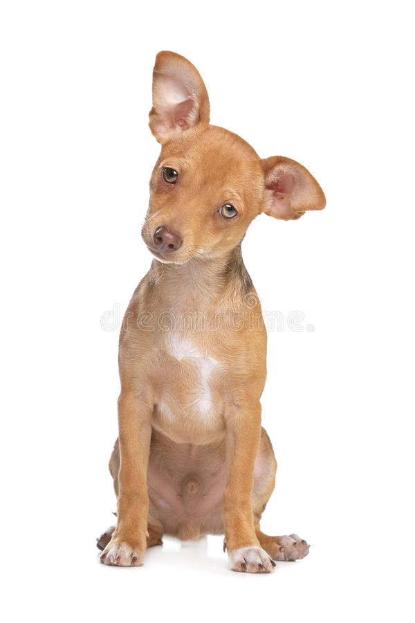 Mixed Breed Chihuahua And Miniature Pincher Dog Royalty Free Stock Image