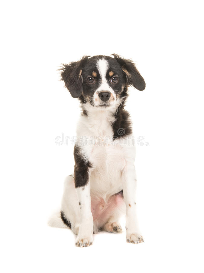 Mixed breed cute black and white puppy dog facing the camera on royalty free stock images