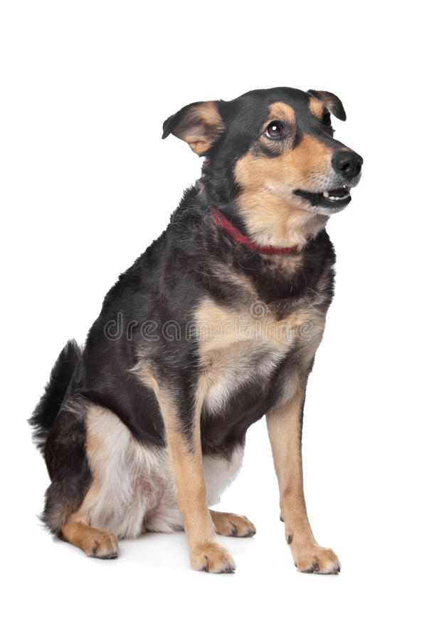 Mixed breed dog. In front of a white background stock photo