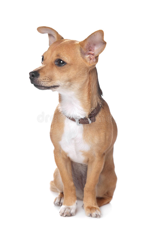 Download Mixed breed dog stock image. Image of animals, miniature - 23244663