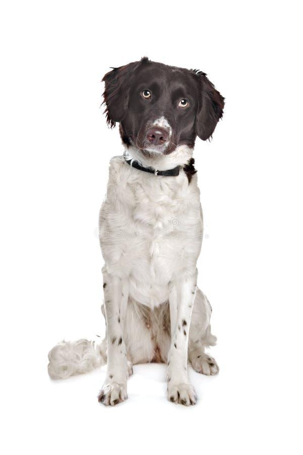 Mixed Breed Dog. Royalty Free Stock Image