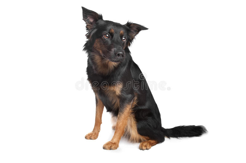 Download Mixed breed dog stock image. Image of breed, background - 24394837