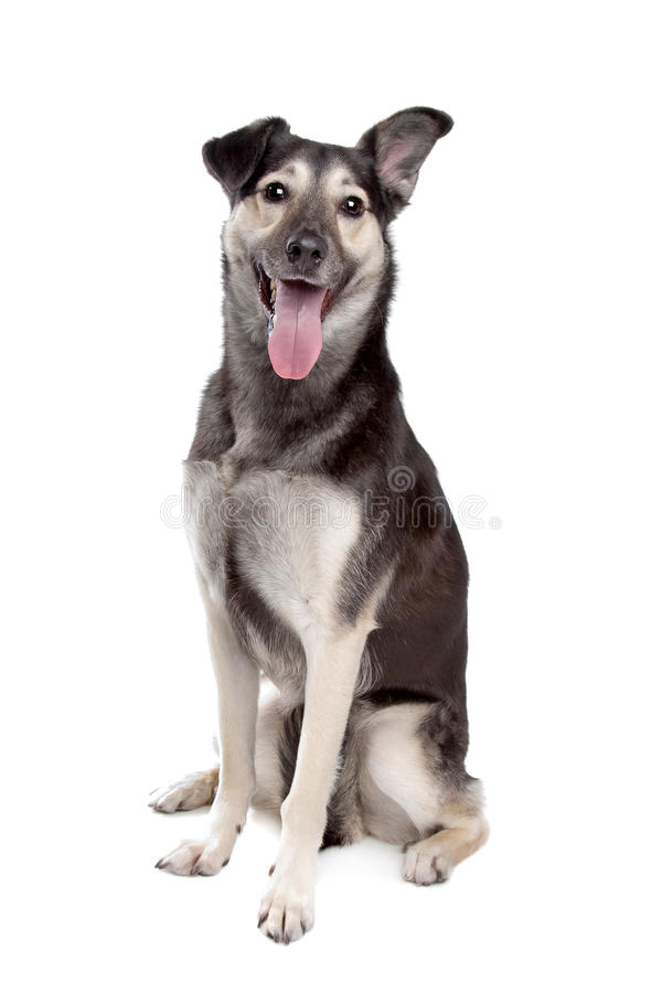 Mixed breed dog. In front of a white background stock photos