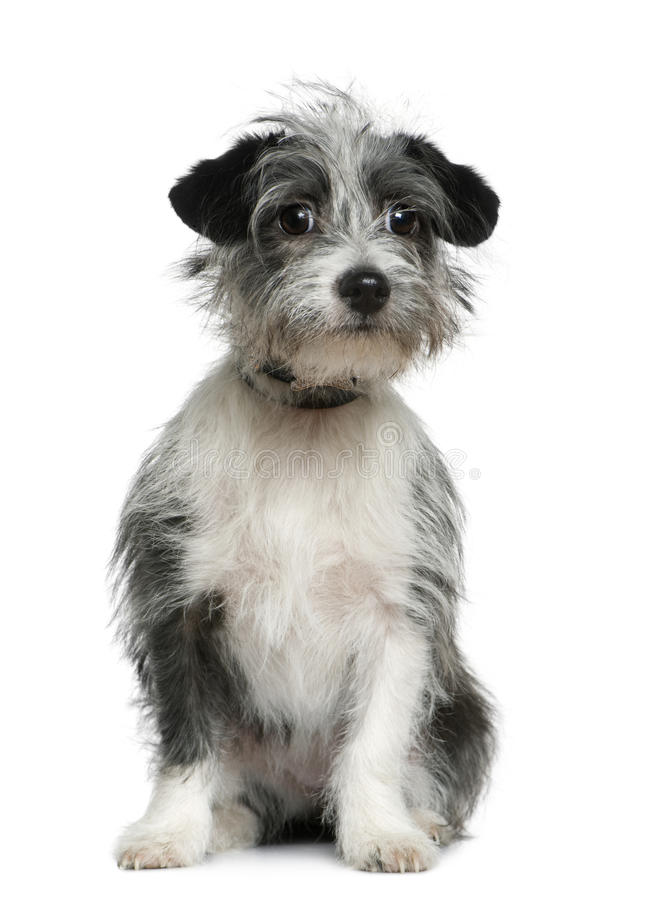 Mixed-breed dog, 6 months old, sitting royalty free stock photo