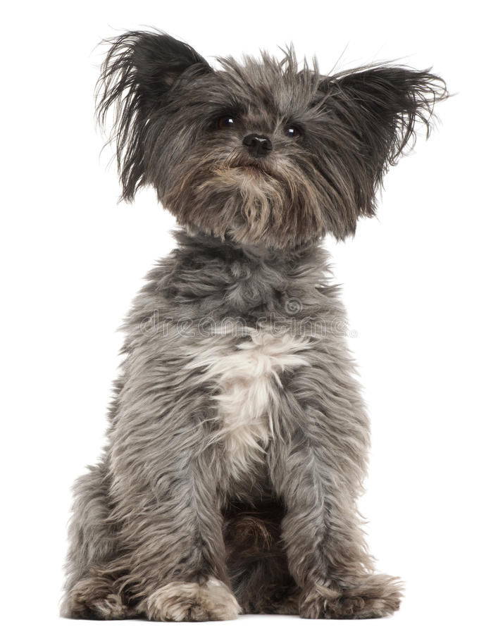 Mixed-breed dog, 7 years old, sitting royalty free stock image