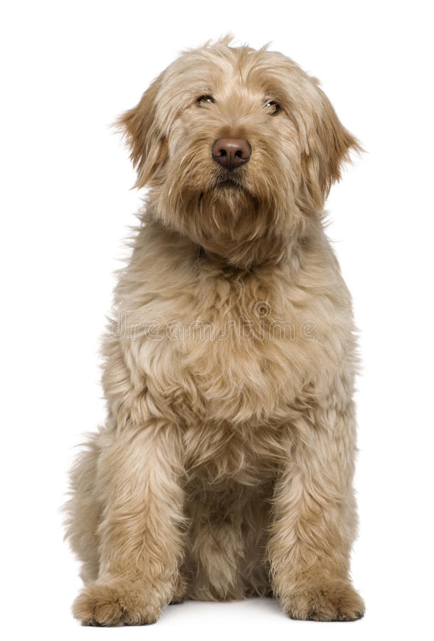 Mixed-breed dog, 8 months old, sitting royalty free stock photo