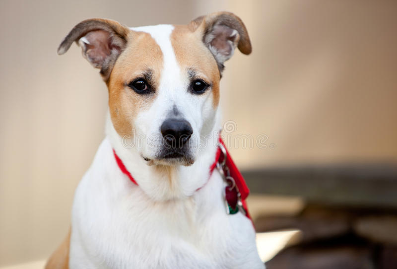 Mixed Breed Dog At Attention Royalty Free Stock Images