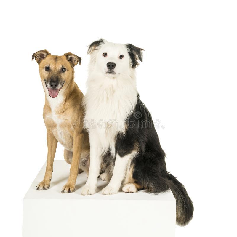 Mixed breed dog and Australian shepherd in white background looking at camera. Brown mixed breed dog and a black and white australian shepherd sitting on a cube royalty free stock photo