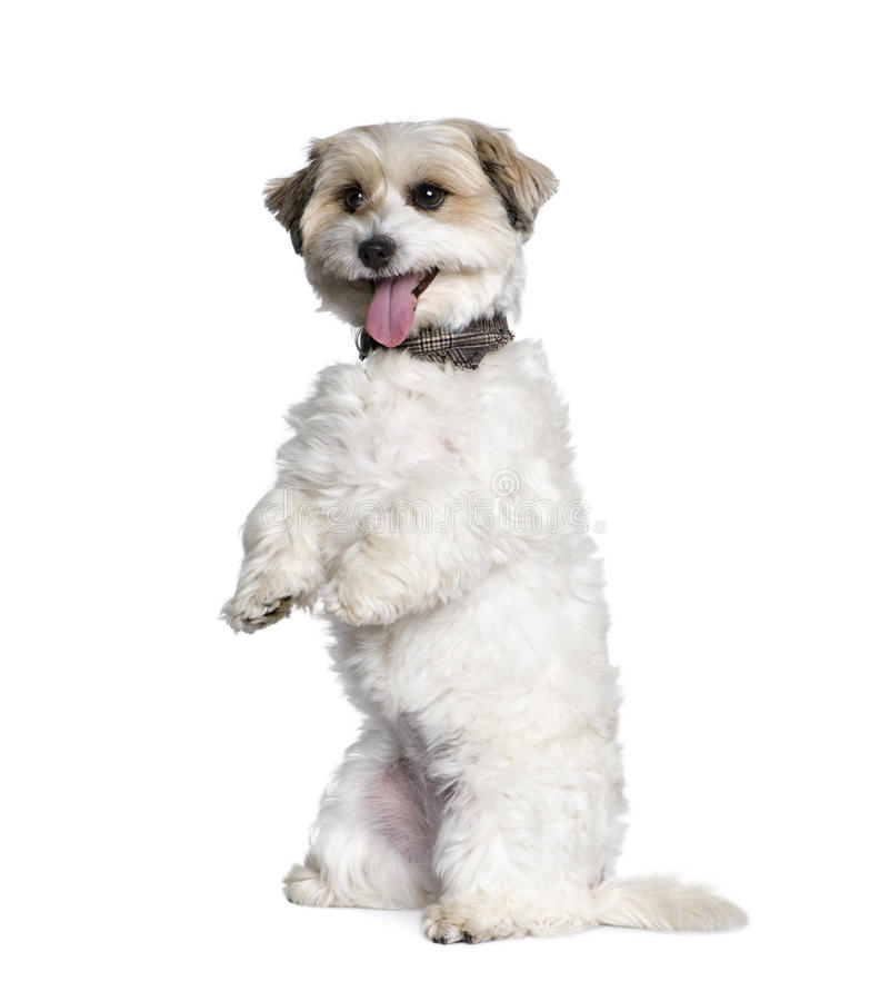 Download Mixed-Breed Dog Between A Bichon And A Jack Russel Stock Image - Image: 11291731
