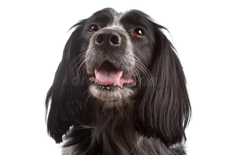 Download Mixed Breed Dog.border Collie, Cocker Spaniel Royalty Free Stock Image - Image: 20676646