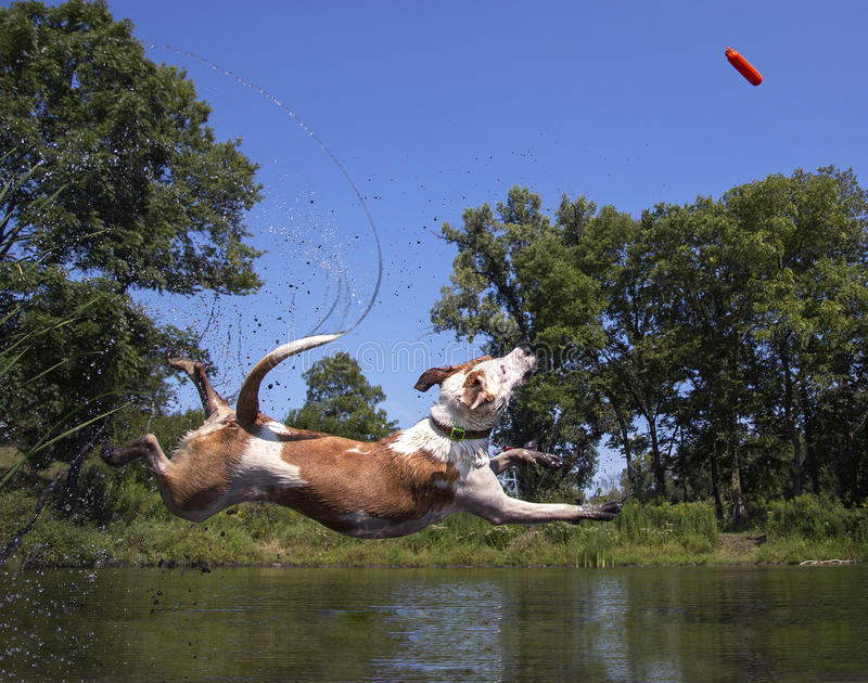 Download Mixed Breed Dog Diving Into A Pond Stock Image - Image of swim, pond: 58585683