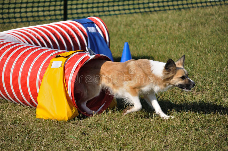 Mixed-Breed Dog Exiting Red Agility Tunnel Stock Images