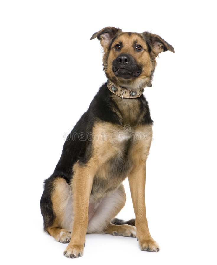Mixed-Breed Dog, A German Shepherd And A Beauceron Stock ...