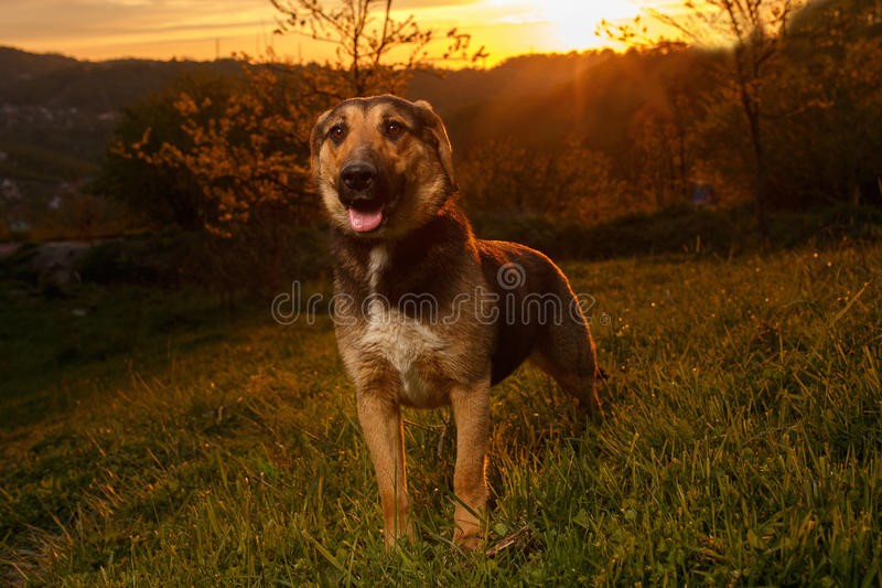 Mixed Breed Dog on Grass at sunset. Mixed Breed Dog on Grass at Evening light royalty free stock image