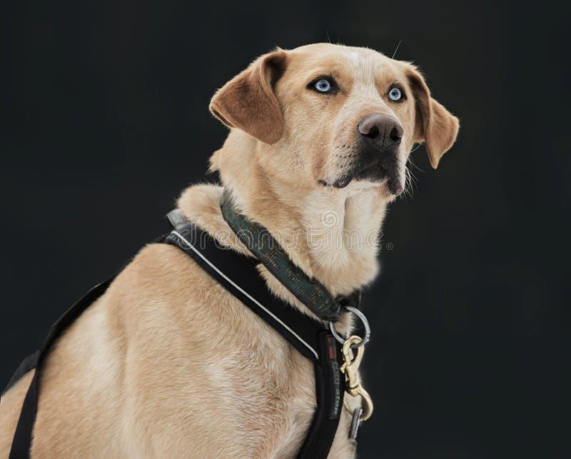 Mixed breed dog ( husky, rottweiler, shepherd) stock images