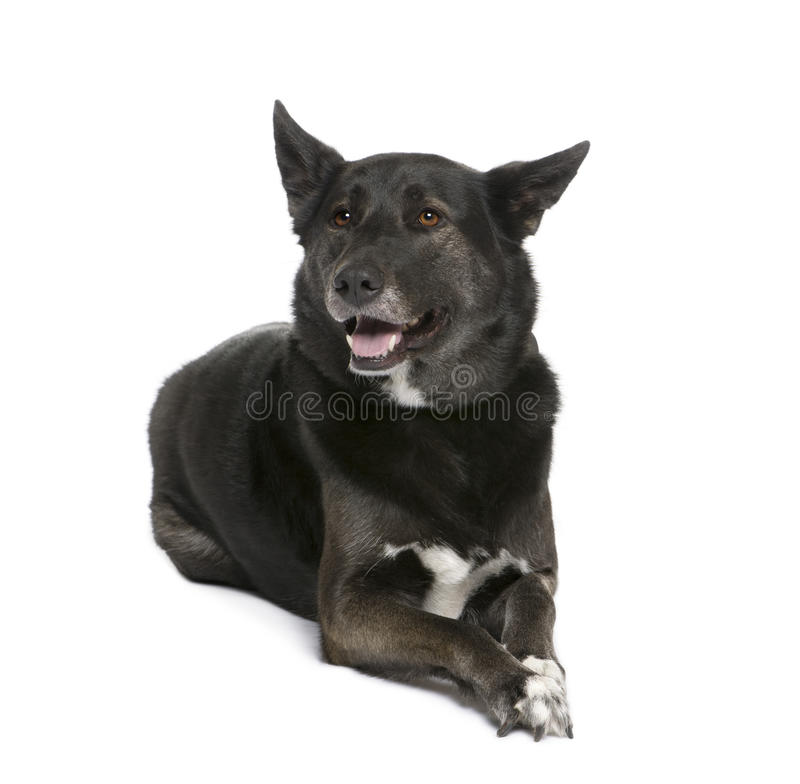 Mixed breed dog between a Husky and a Shepherd. 5 years old, sitting in front of white background royalty free stock photo