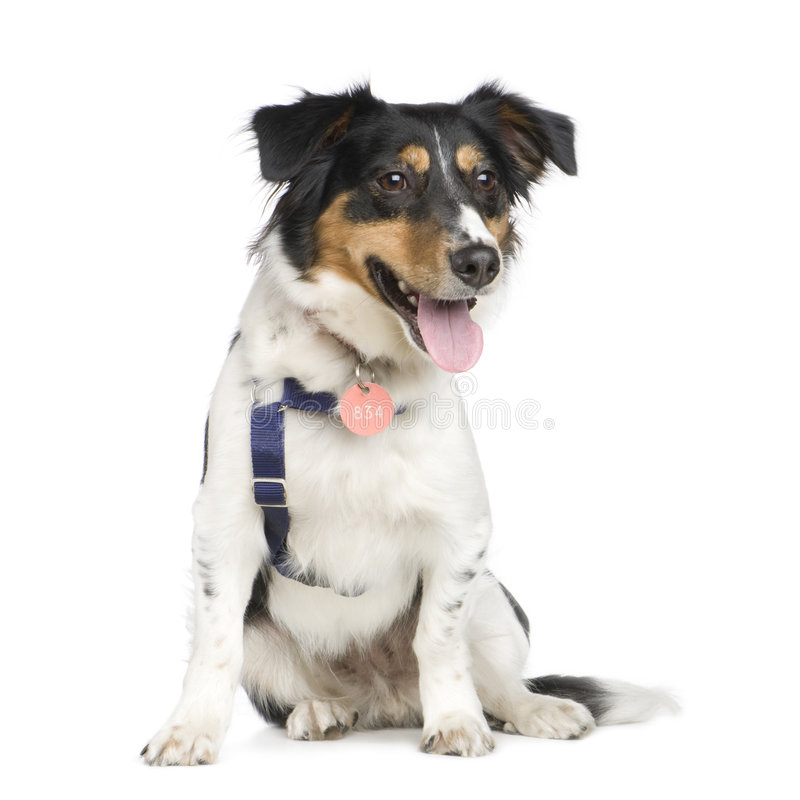 Download Mixed-Breed Dog With A Jack Russel (18 Months) Stock Photo - Image: 6853026