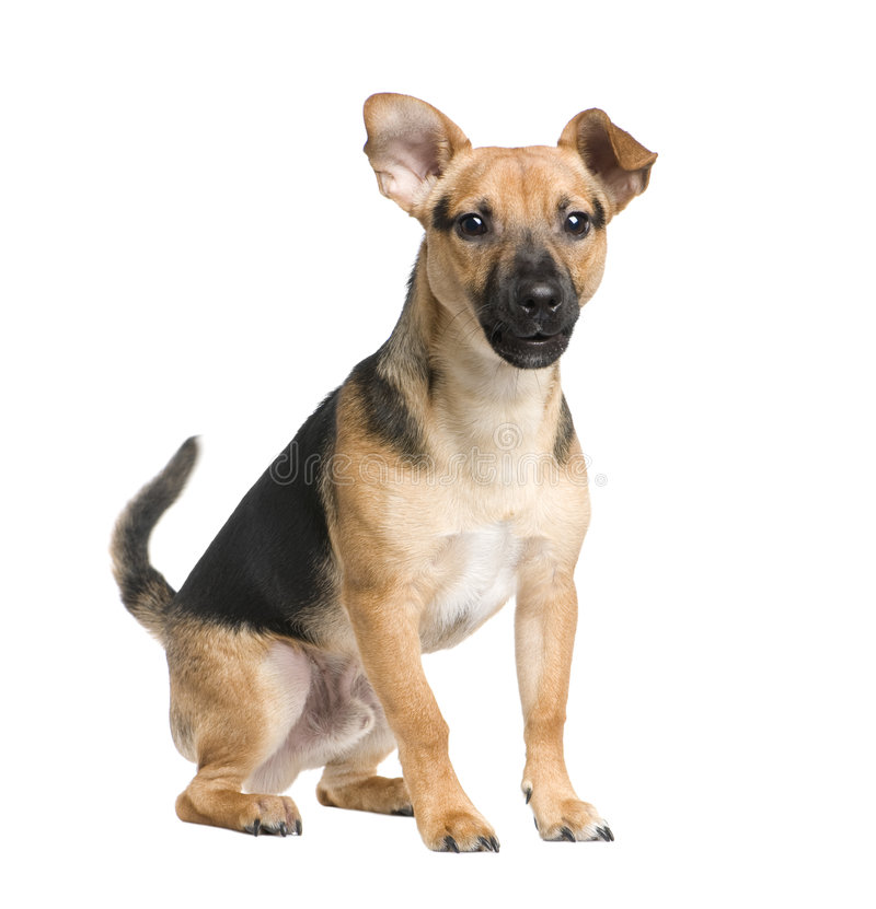 Download Mixed-Breed Dog Between A Jack Russel And A Pinsch Stock Photo - Image: 8417848