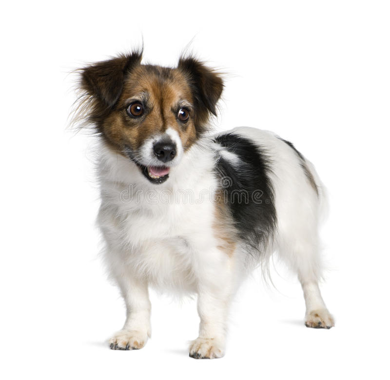 Download Mixed-breed Dog With A Jack Russell Terrier Stock Photo - Image: 11291738