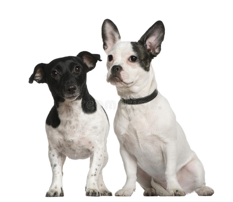 Mixed-breed Dog And Jack Russell Terrier Sitting Stock Photography