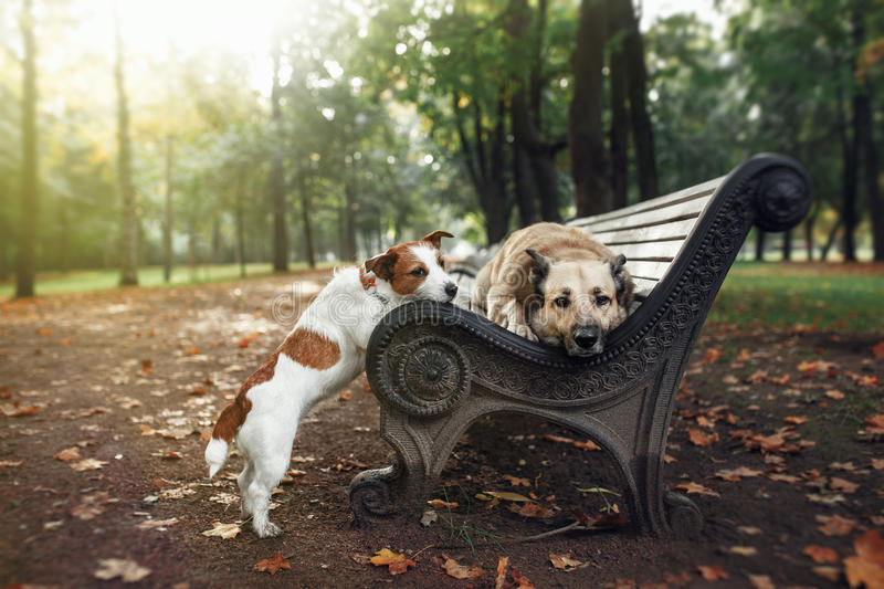 Mixed breed dog and Jack Russell Terrier walking in autumn park royalty free stock photography