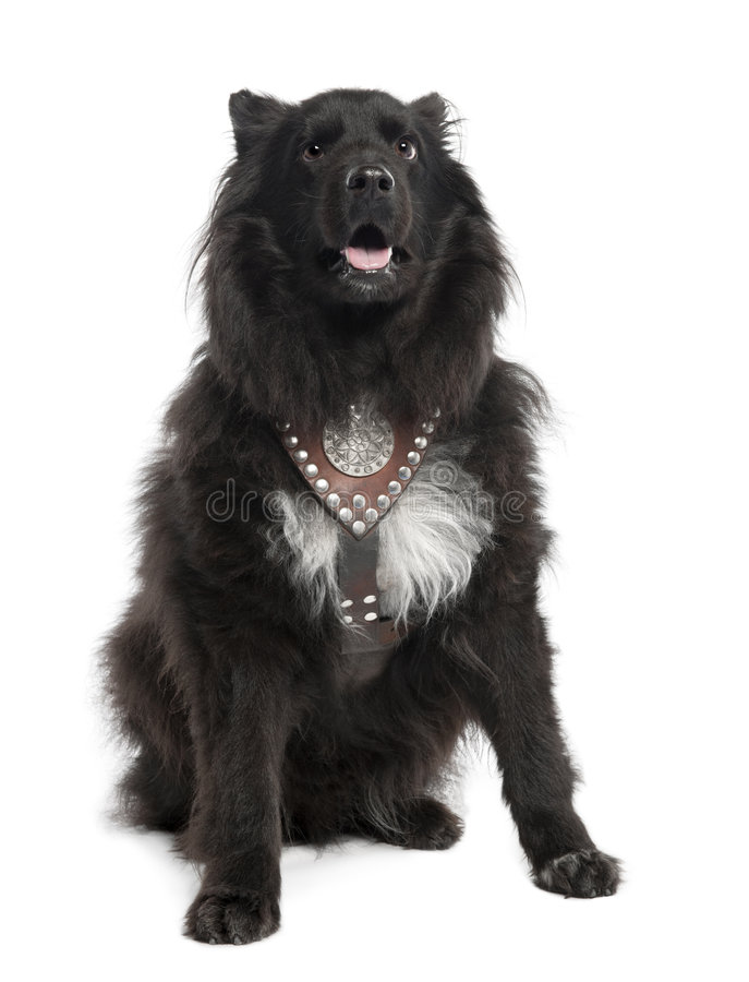 Download Mixed-Breed Dog Between Keeshond And A Sheltie (6 Stock Photo - Image: 9087398