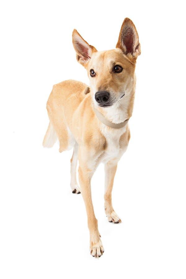 Mixed Breed Dog Missing Leg royalty free stock image
