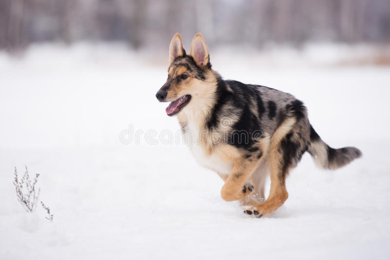 Mixed breed dog outdoors in winter. Beautiful mixed breed dog outdoors royalty free stock photography